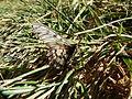 Acraea andromacha 4.jpg