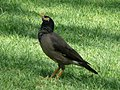 Acridotheres tristis in the grounds of the Le Royal Méridien Beach Resort and Spa in Dubai 4.jpg