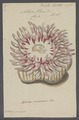 Actinia felina - - Print - Iconographia Zoologica - Special Collections University of Amsterdam - UBAINV0274 109 05 0017.tif