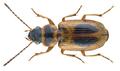 Acupalpus maculatus (Schaum, 1860) (22226375654).png