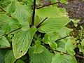 Adelocaryum coelestinum (Lindl.) Brand (4955277740).jpg