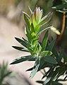 Adenandra uniflora in Dunedin Botanic Garden 01.jpg
