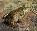 Adirondacks - American bullfrog - 2.JPG