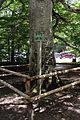 Admont - Naturdenkmal 913 - Rotbuche (Fagus sylvatica).jpg
