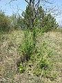 Adonis vernalis sl57.jpg