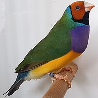 Adult gouldian finch