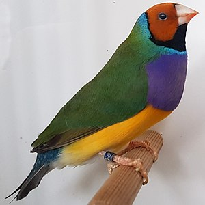 Threatened fauna of Australia - A Gouldian finch, a bird classified as endangered on the list of threatened fauna of Australia.