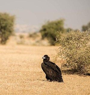 Cinereous vulture - A portrait of Cinereous Vulture, also known as Black Vulture