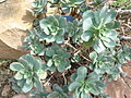 Aeonium haworthii.jpg