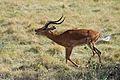 Aepyceros melampu -Lake Manyara National Park, Tanzania-8.jpg