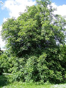 Aesculus glabra - Wikipedia, the free encyclopedia