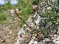Aethionema saxatile (s. str.) sl10.jpg