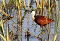 African Jacana, Actophilornis africanus - sunrise in the reeds, Kruger Park (20041398638).jpg