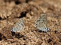 African babul blue Mudpuddling from Melagiri TN.jpg