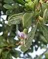 African boxthorn flower.jpg
