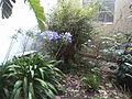 Agapanthus pale blue 01.jpg