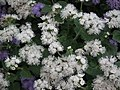 Ageratum from Lalbagh flower show Aug 2013 7978.JPG