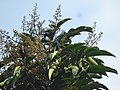Aglaia spectabilis flowering2392.jpg