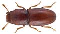 Aglenus brunneus (Gyllenhall, 1813) (22687004791).png
