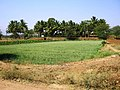 Agriculture land @ Gundalur - panoramio (1).jpg