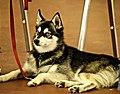 Alaskan Klee Kai.jpg