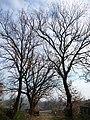 Alberi della campagna di Gavignano - panoramio.jpg