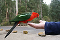 Alisterus scapularis (male) -perching on finger tips-8a.jpg