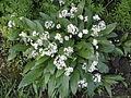 AlliumUrsinum .R.H. (19).jpg