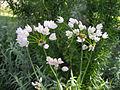 Allium roseum 1.JPG