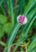 Allium schoenoprasum (Bieslook). actm.jpg
