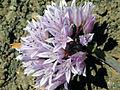 Allium siskiyouense.jpeg