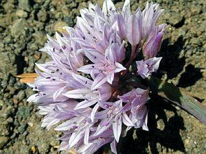 Allium siskiyouense - Allium siskiyouense