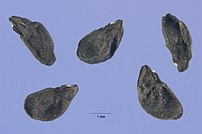 Allium vineale seeds.jpg