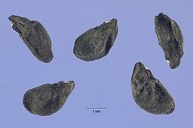Allium vineale seeds.jpg