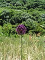 Allium waldsteinii.jpg