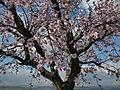 Almond Prunus dulcis.jpg