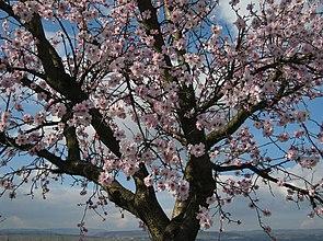 Mandelblüte in Rheinhessen Anfang März