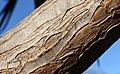 Aloe bainesii, Victoria Esplanade Park (4).jpg