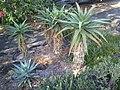 Aloe excelsa, Mt Coottha Botanical Gardens, Brisbane, Australia - panoramio.jpg