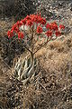 Aloe hereroensis MS 9853.jpg
