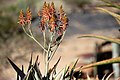 Aloe littoralis (Windhoek Aloe) ^ Dusky Sunbird-1472 - Flickr - Ragnhild & Neil Crawford.jpg