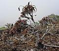Aloe sp. Ribaue - old plant (10210631454).jpg