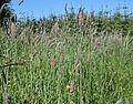 Alopecurus pratensis in a meadow near Pokelly.JPG