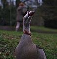 Alopochen aegyptiaca in parc Tenreuken (Auderghem, Belgium, DSCF2984).jpg