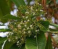Alstonia macrophylla (Batino) in Hyderabad W2 IMG 9005.jpg