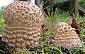 Amanita muscaria var. alba Peck 801066.jpg