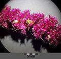 Amaranthus caudatus sl10.jpg