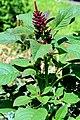 Amaranthus hypochondriacus Prague 2011 1.jpg