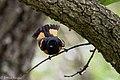 American Redstart (male) Sabine Woods TX 2018-04-21 13-19-55 (41971711321).jpg