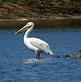 American White Pelican (7925382370).jpg